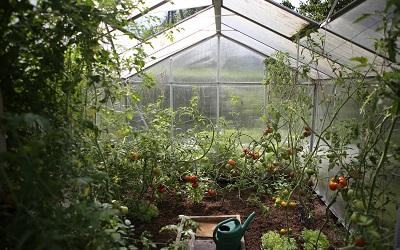 A greenhouse with tomatoes